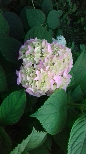 Краски лета в моём саду????