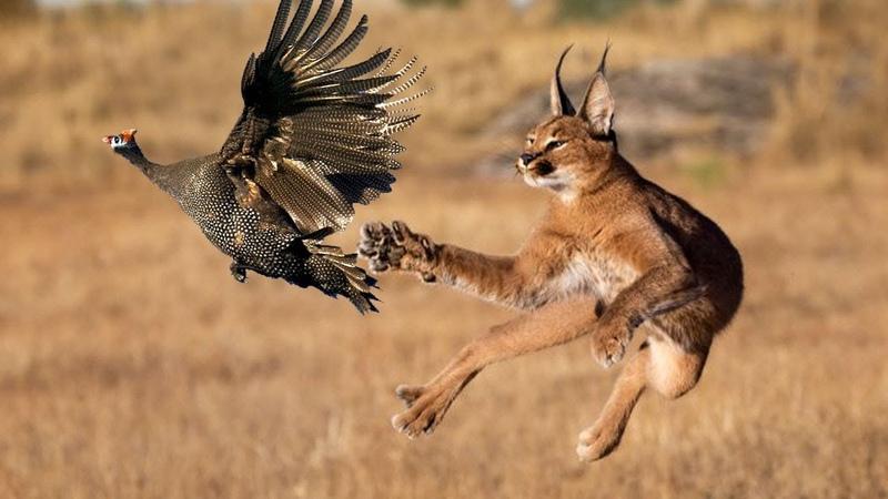 КАРАКАЛ кот прыгун ОХОТНИК на птиц Каракал ПРОТИВ шакалов Интересные факты о каракалах