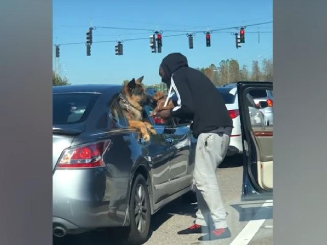 Видео дня: водитель устроил знакомство щенка и огромной овчарки на светофоре