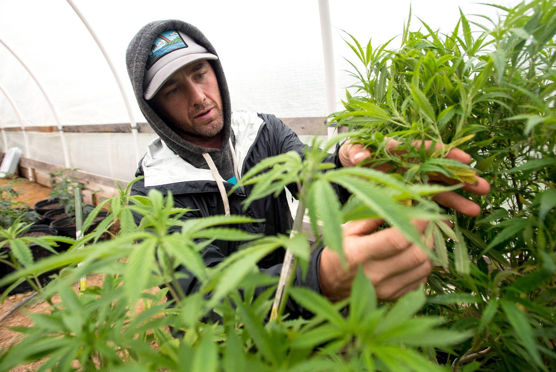 Культивирование марихуаны в россии конопля вырашиванье