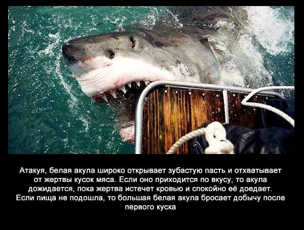 валтея - Интересные факты о акулах / Хищники морей.(Видео. Фото) XX01UPfy6pQ