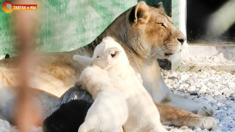 Львята Лейлы два плюшевых белочка и желточек Тайган Multi colored lion cubs Taigan