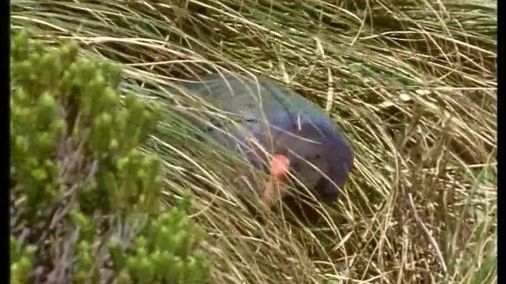 BBC «Жизнь птиц 1 - Летать или не летать?»