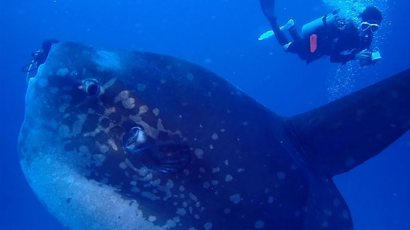 Diver Swims With Giant Mola Mola Fish