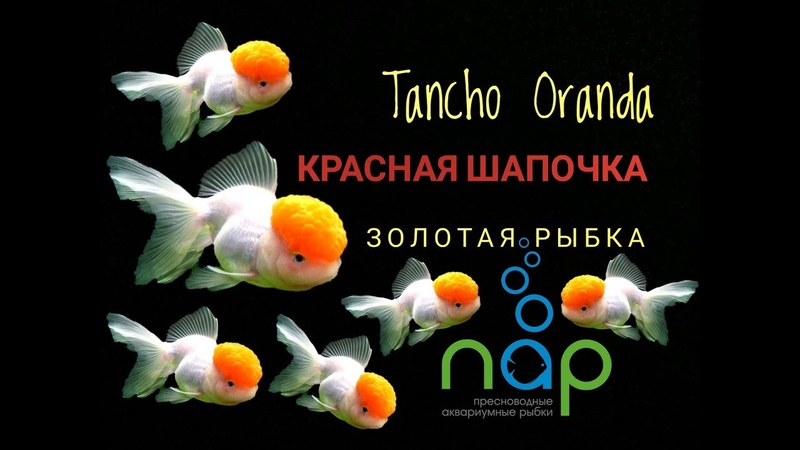 Золотая рыбка - Оранда Красная шапочка. Tancho Oranda.