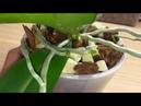 орхидеи корни стали ДЖУНГЛЯМИ после лёгкой пересадки