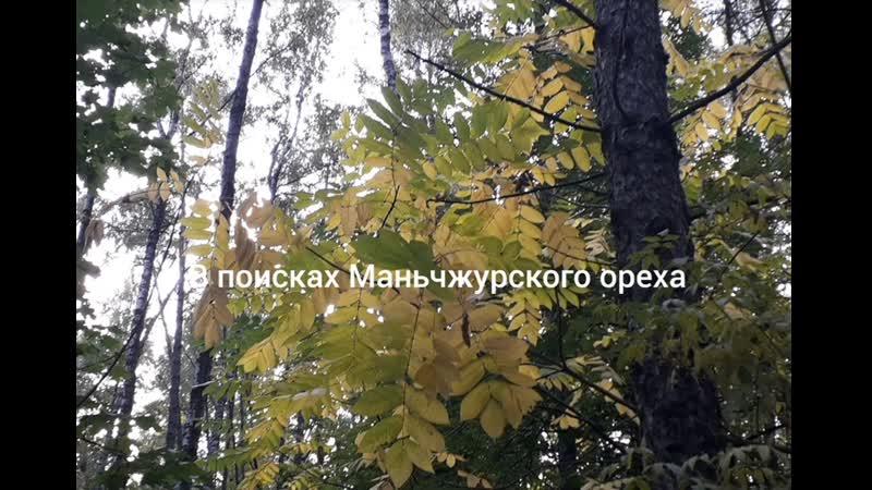 В поисках маньчжурского ореха. Плотина. Красногорск