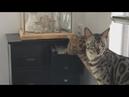 Кот пошел на дело 😂😱😜 Смешные кошки Приколы про котов 👍