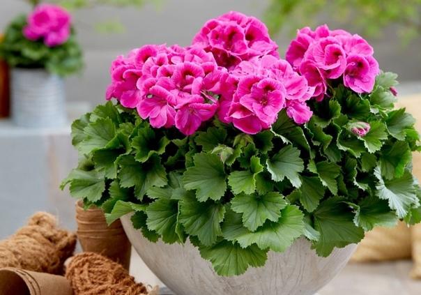 Комнатные цветы в подарок: что они символизируют и говорят получателю на языке цветов