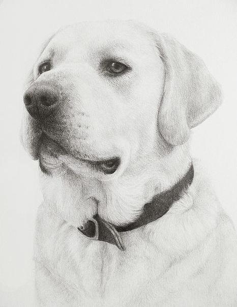 картинки собак лабрадоров карандашом прямого силуэта