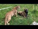 Бесстрашный пёс знакомится с пумой Месси