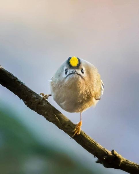 картинка где птичка толстая петунии это однолетнее