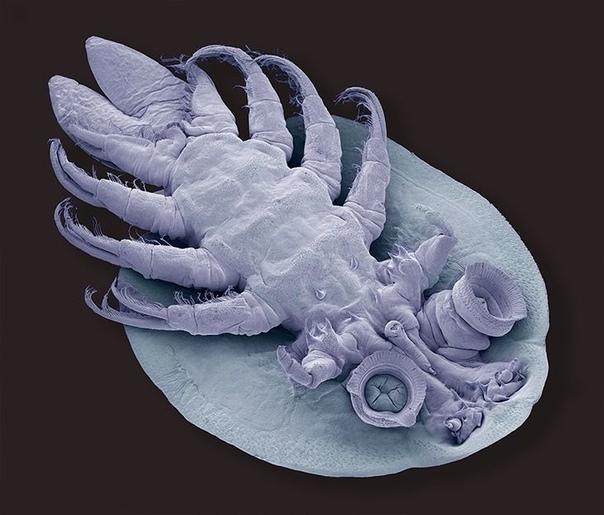 Рачок карпоед или рыбья вошь  хорошо приспособленный паразит, макрофотография.