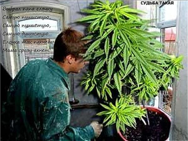 Статья о распространении марихуаны достать марихуану в сочи
