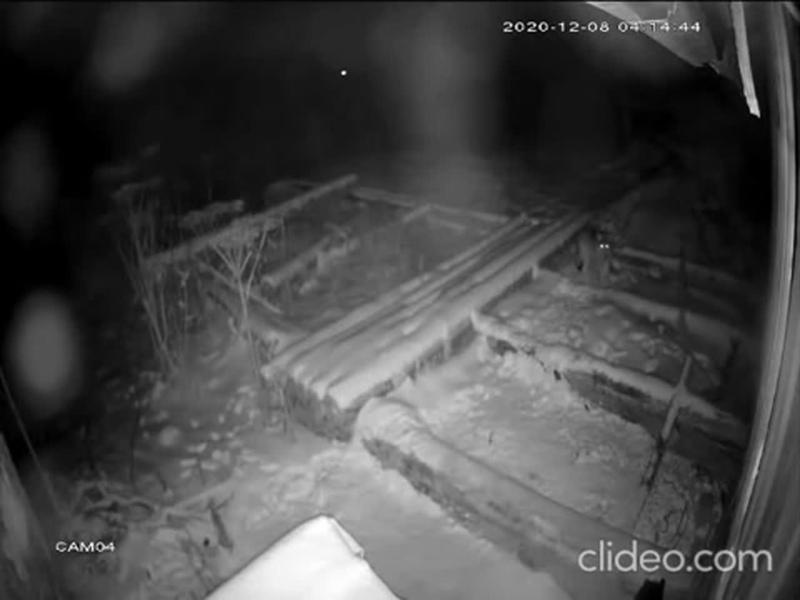 В Архангельской области волк убил большую охотничью собаку и унес как воробья выдернув из ошейника