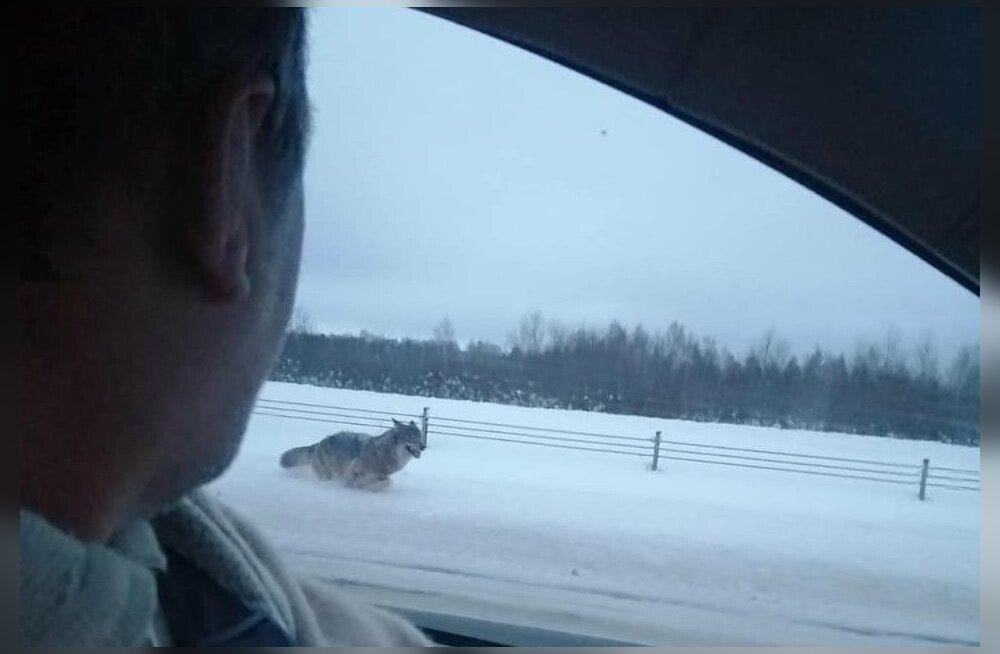 В Мярьямаа волк преследовал автомобиль