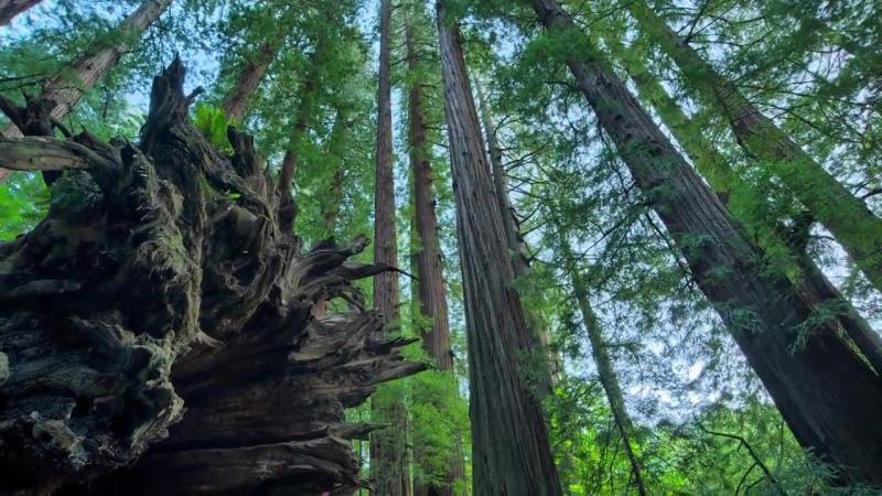 Redwood I Сиквои