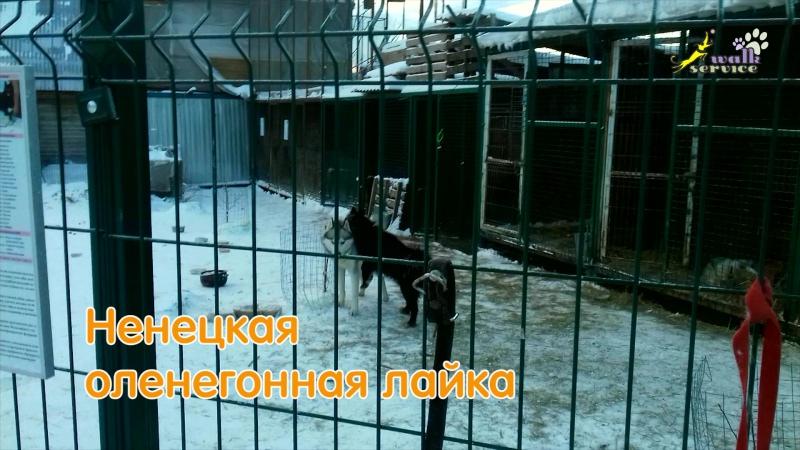 Ненецкая оленегонная лайка воспитывает сибирских хаски