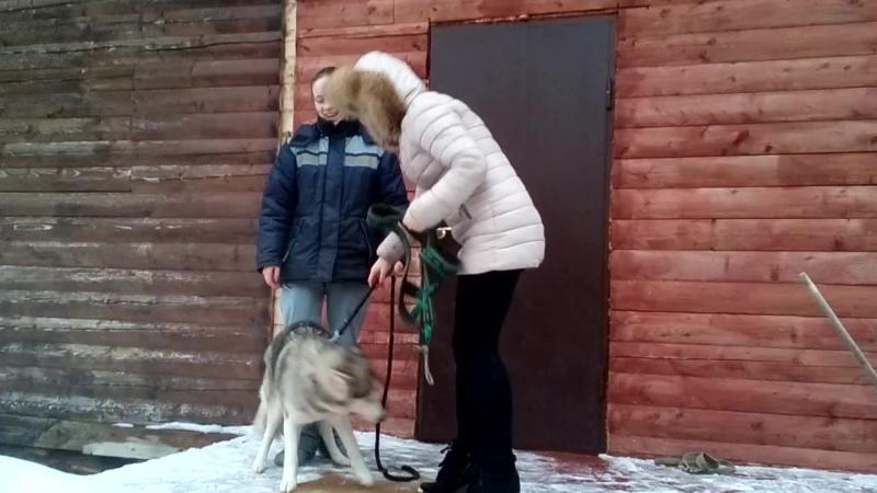 Учимся одевать собаку в ездовую шлейку