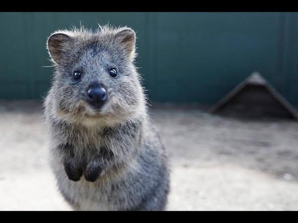 Почему улыбается Квокка Или единственный зверек в Австралии который не желает тебя убить