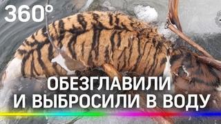Обезглавили амурского тигра и выбросили тело в воду. Откуда такая жестокость?