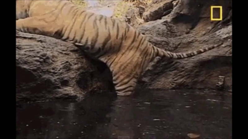 Tiger Checks depth of water before relaxing