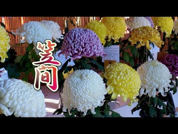 Blooming Chrysanthemum (Kiku) at Kasama Inari Shrine of kasama city.笠間 4K