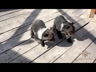 В Бурятии полицейские забрали у владельца отеля двух медвежат