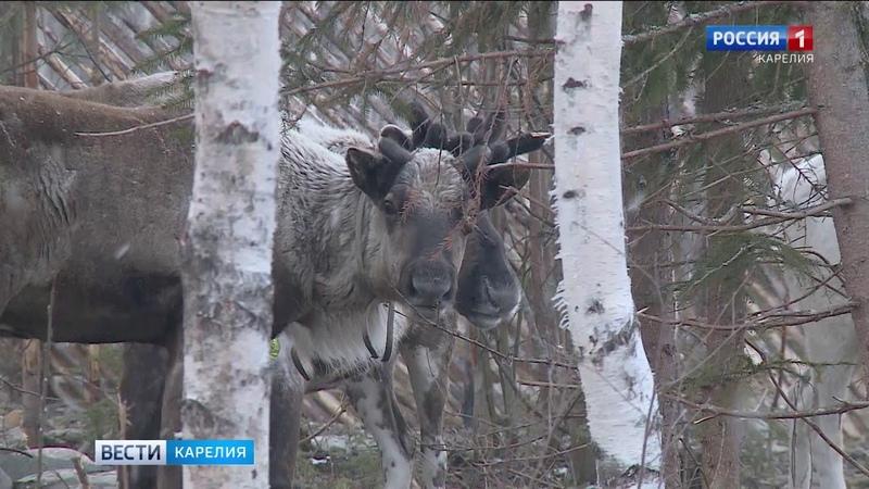Возбуждено уголовное дело об отстреле северных оленей в Кемском районе