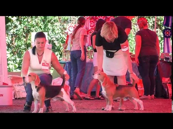 Монопородная выставка биглей ранг КЧК г Краснодар 30 08 2020 эксперт Лепеха Е