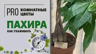 Пахира - дерево с косой. Неприхотливое комнатное растение для дома и офиса. Секреты ухода.